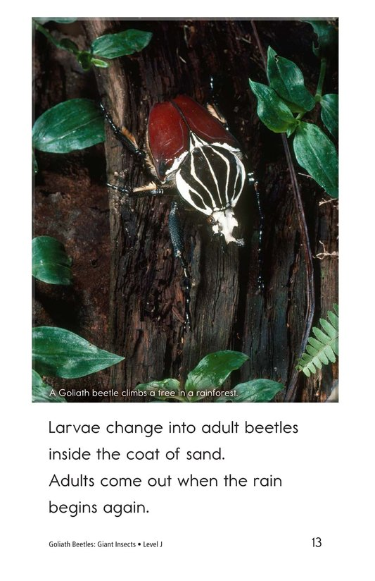 Book Preview For Goliath Beetles: Giant Insects Page 13
