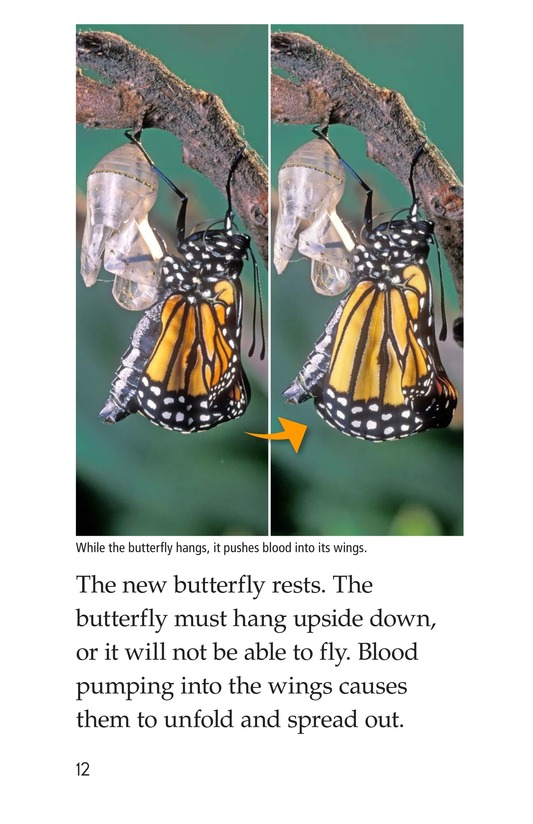 Book Preview For The Butterfly Life Cycle Page 12